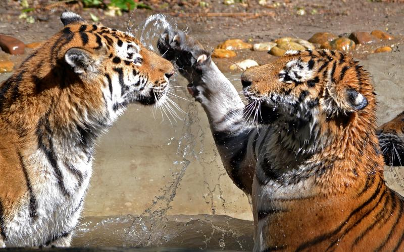Two tigers meet