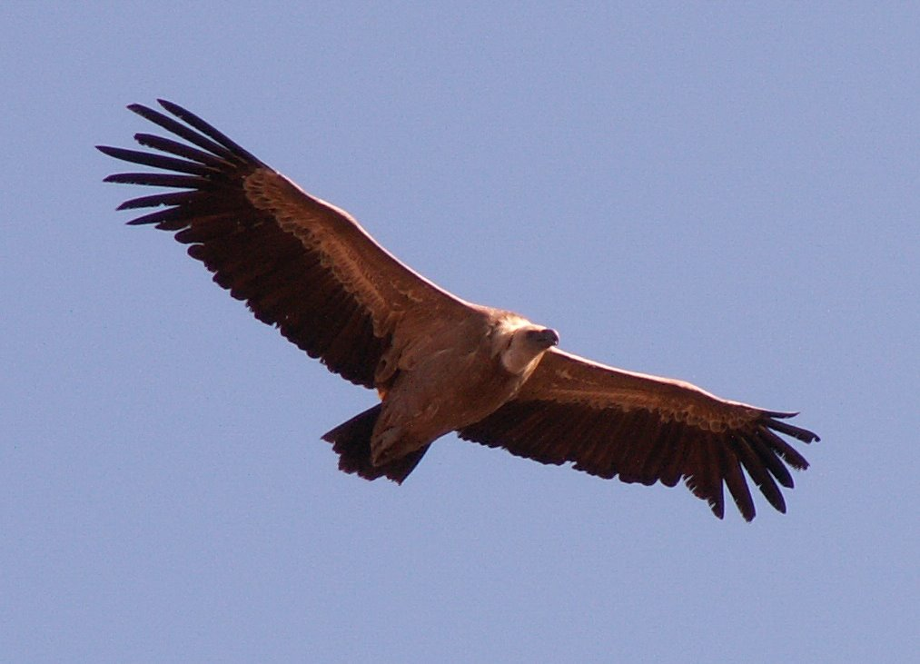 Griffin Vulture from wiki